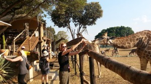 giraffe bottle feeding 2A