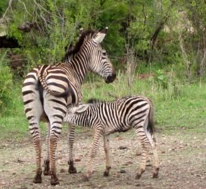 zebras, mother and colt